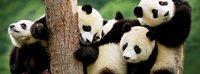 Тур панды, черно-белая легенда